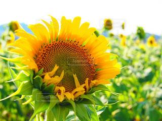緑の葉と黄色の花の写真・画像素材[1308173]