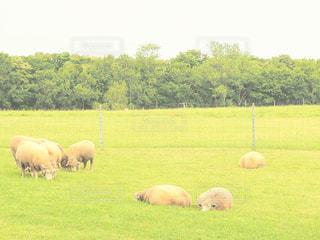 緑豊かな緑の草原で放牧の羊の群れの写真・画像素材[1380819]