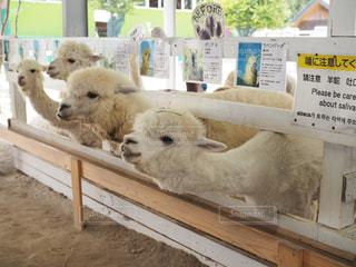 木製フェンスの上に羊の立っているグループの写真・画像素材[1380857]