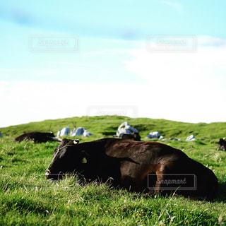 緑豊かな緑の草原に放牧牛の群れの写真・画像素材[708878]
