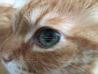 猫の目 茶トラの写真・画像素材[780218]