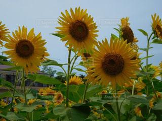近くに黄色い花のアップの写真・画像素材[709857]