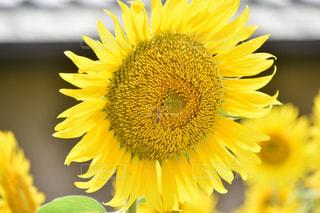 黄色の花の写真・画像素材[709858]