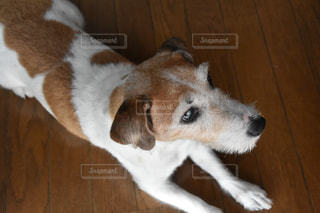 床の茶色と白の犬の地位の写真・画像素材[710179]