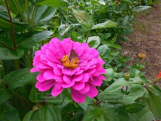 近くの花のアップの写真・画像素材[720418]