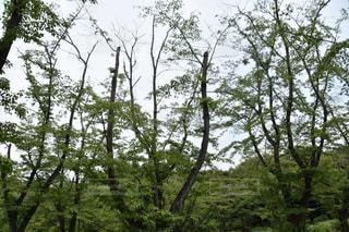 森の大きな木の写真・画像素材[720435]