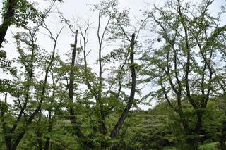 森の大きな木の写真・画像素材[763523]