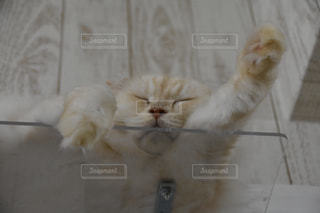 その口を開いて白猫の写真・画像素材[781693]