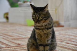 敷物の上に座っている猫の写真・画像素材[781701]
