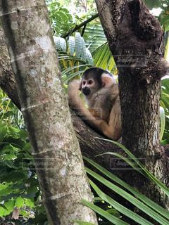 枝の上に座って猿の写真・画像素材[1016850]