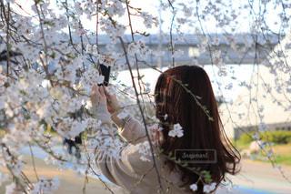 桜の木の写真・画像素材[1083488]