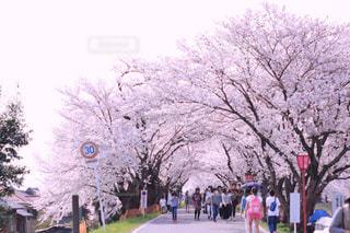 桜並木 - No.1119140
