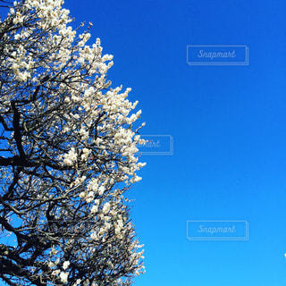澄んだ青い空の木の写真・画像素材[711205]