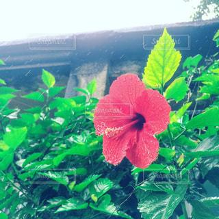 緑の葉と赤い花の写真・画像素材[730260]