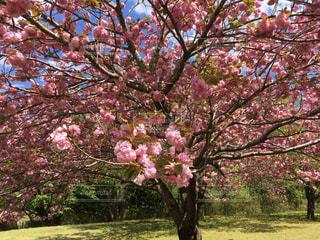 ピンクの花の木 - No.710586