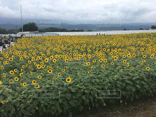 フィールド内の黄色の花 - No.710591