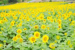 フィールド内の黄色の花の写真・画像素材[710659]