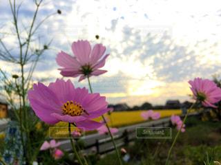 フィールドにピンクの花の写真・画像素材[710948]