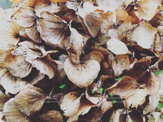 枯れた紫陽花の写真・画像素材[712544]