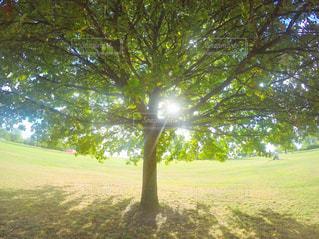 芝生のエリアでは、木の写真・画像素材[714541]