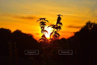 背景の夕日と植物の写真・画像素材[716703]