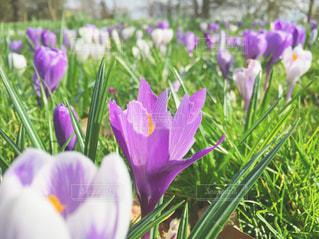 紫の花のグループの写真・画像素材[722897]