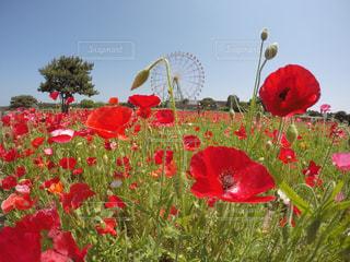 フィールドに赤い花の写真・画像素材[799506]
