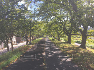 森の大きな木の写真・画像素材[1615272]