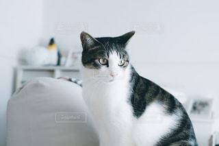 カウンターに座って、黒灰色と白猫の写真・画像素材[1764824]