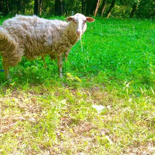 見つめる羊の写真・画像素材[958404]