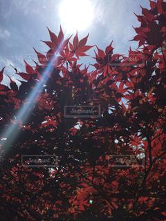 春紅葉と逆光の写真・画像素材[712525]