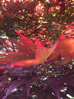 春紅葉の高揚の写真・画像素材[712568]