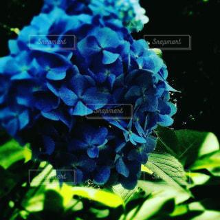 艶やかな紫陽花の写真・画像素材[2228271]