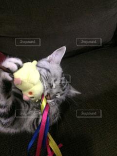 おもちゃで遊んでる猫 - No.805829