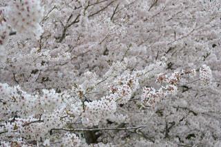 満開の桜の写真・画像素材[713097]