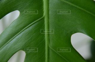 モンステラの葉の写真・画像素材[713441]
