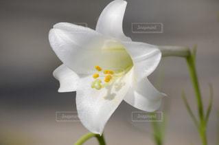 小さな白い花 百合の写真・画像素材[718614]