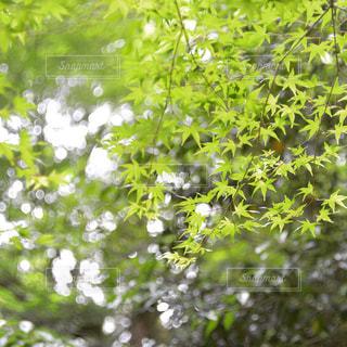 モミジと木漏れ日の写真・画像素材[1258665]