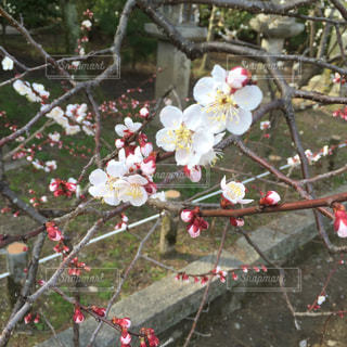 梅の花、梅花、春の写真・画像素材[726484]