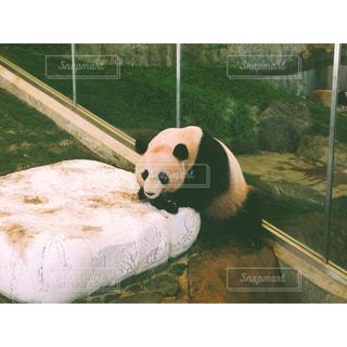 草の中に座っているパンダの写真・画像素材[713328]