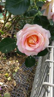ピンクの薔薇の写真・画像素材[715214]