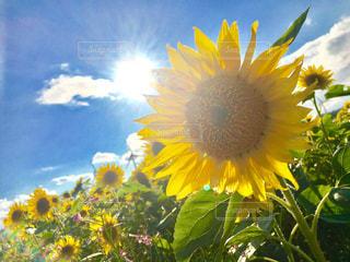 黄色の花の写真・画像素材[716231]