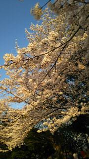桜の写真・画像素材[715780]