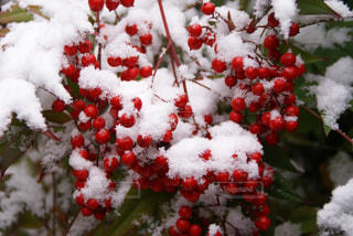 雪に覆われた南天の写真・画像素材[717899]