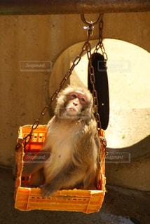 サルの写真・画像素材[739025]