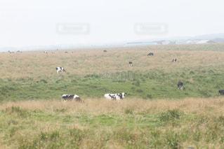 草の上を歩く牛の群れにフィールドが覆われています。 - No.919629