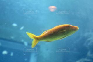 水中の黄色い魚の写真・画像素材[919857]