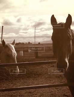 フェンスを探して白い馬の写真・画像素材[947035]