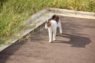 三毛猫の写真・画像素材[993829]