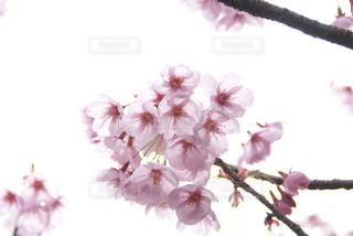 透明感のある桜の写真・画像素材[1063925]